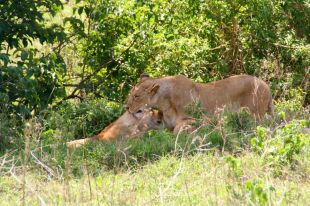 Some lioness's are hard to find!