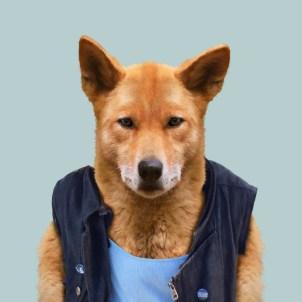 dingo-canis-lupus-dingo-copia-691x691