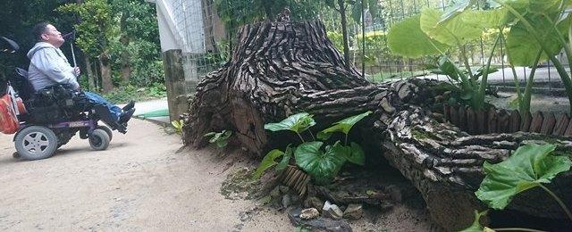 フクギ並木と琉球松の根っこ