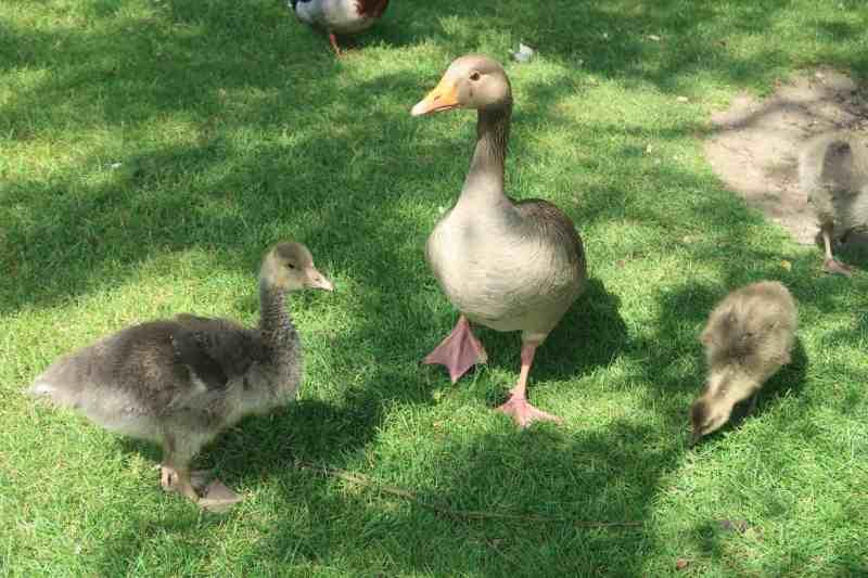 Pensthorpe ducks