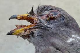 pigeon-diseases