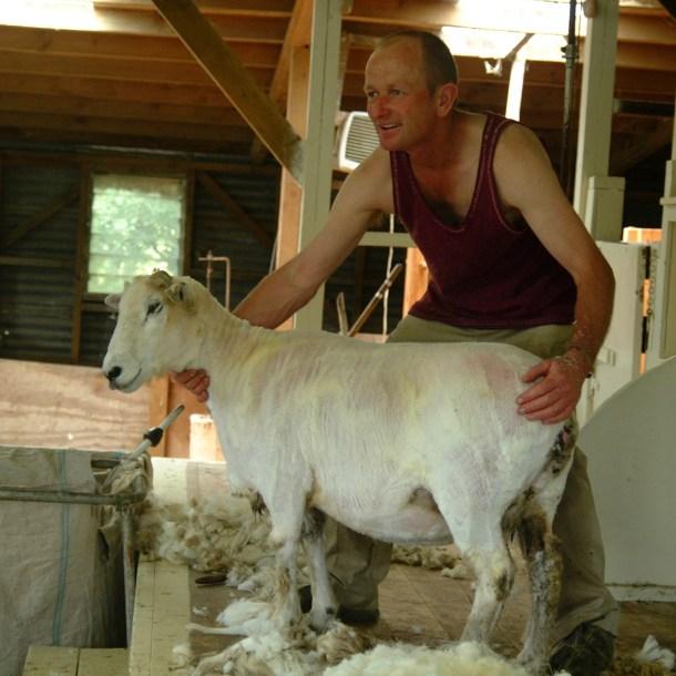 Etwas später: Nacktes Schaf