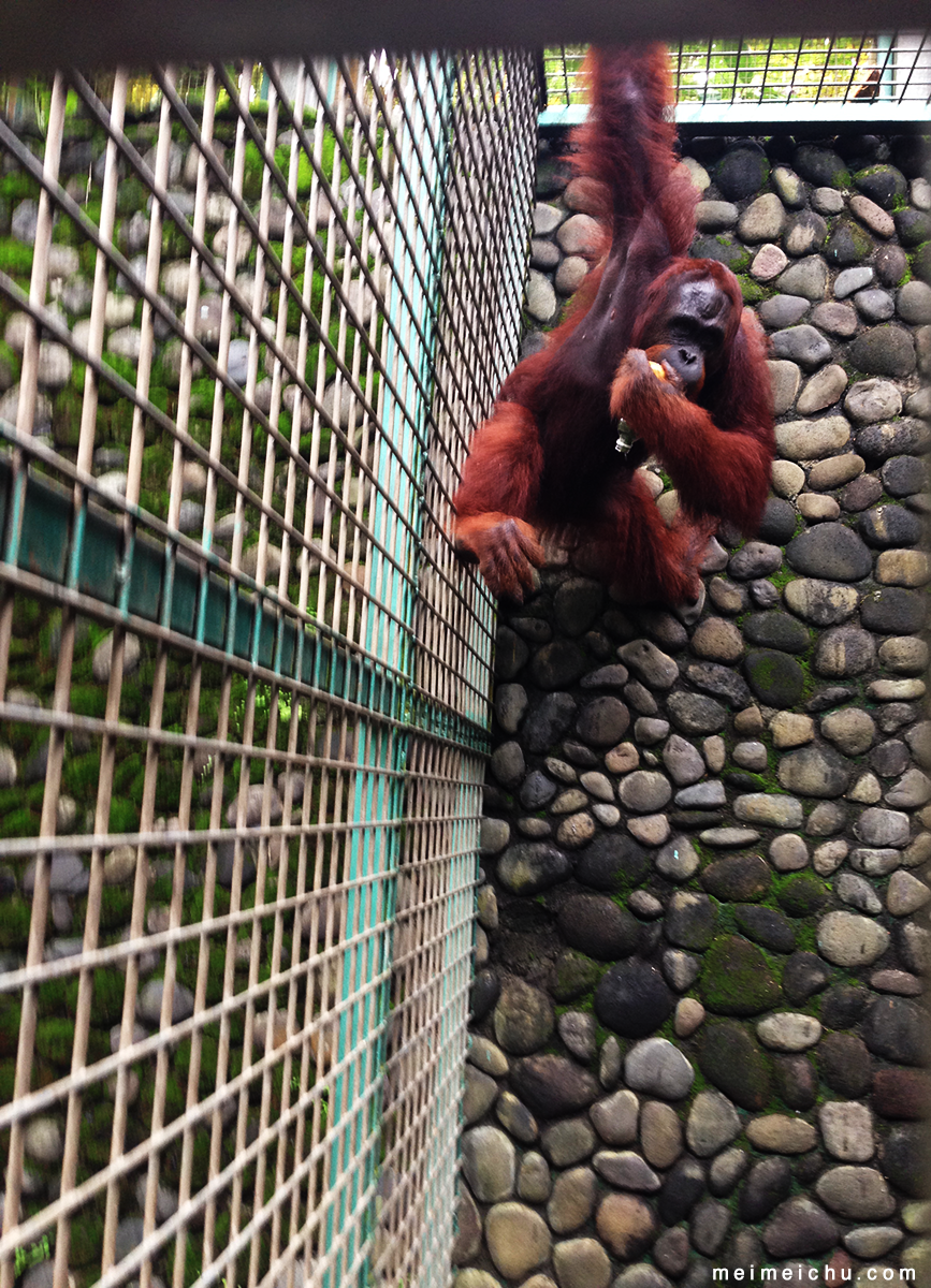 One of the ape enjoying its handmade food enrichment toy.