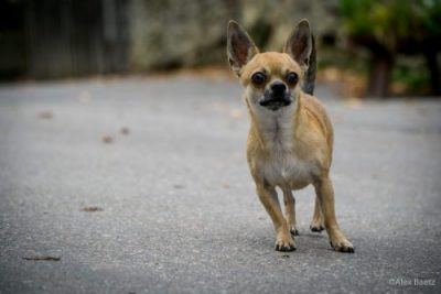 Chihuahua Welpe Checkliste