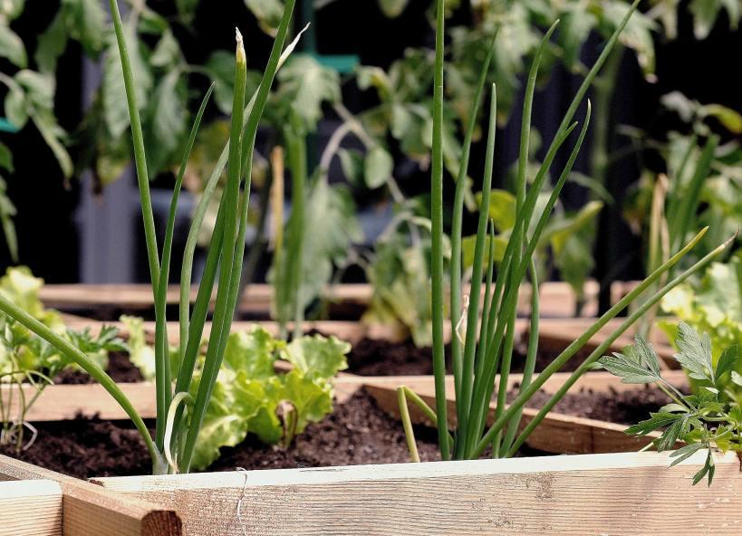 Einen Gemüsegarten im Kübel hat viele Vorteile