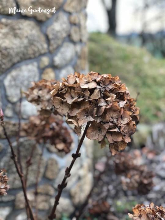 Winterblumen - verblühte Schönheiten