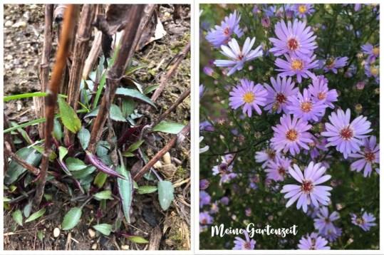Astern - Austrieb & Blüte