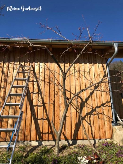 Pfirsichbaum nach dem Schnitt