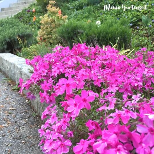 Die schönsten Polsterstauden für Blütenteppiche im Frühling