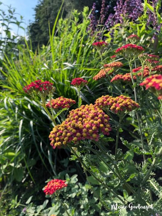 Schafgarbe Achillea millefolium Belle Epoque