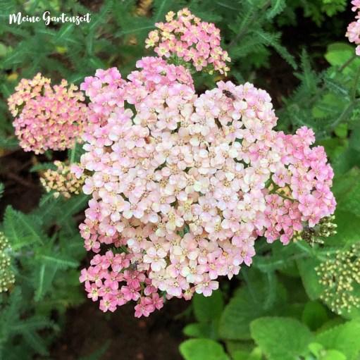 Schafgarbe Achillea millefolium Lachsschönheit