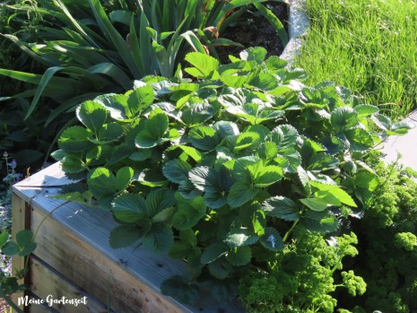 Erdbeerausläufer im Juli neu einpflanzen