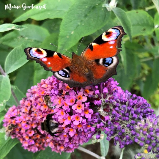 Schmetterlingsflieder mit Tagpfauenauge