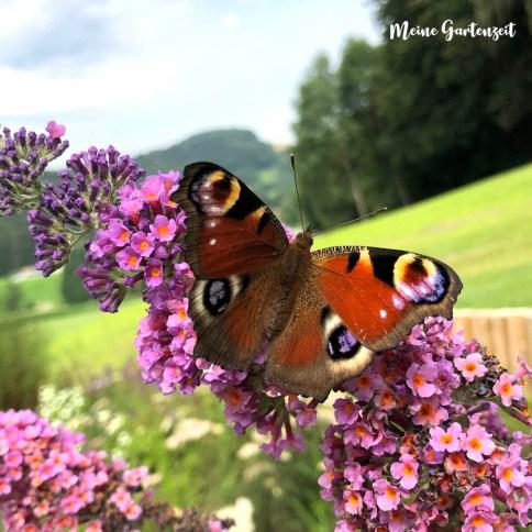 Tagpfauenauge auf Schmetterlingsflieder