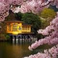Япония и сакура