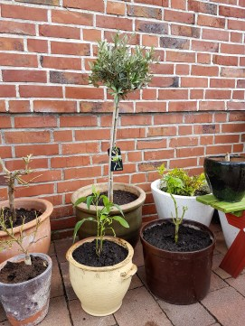 Olivenbaum, Engeltrompete, Melonenbirne...