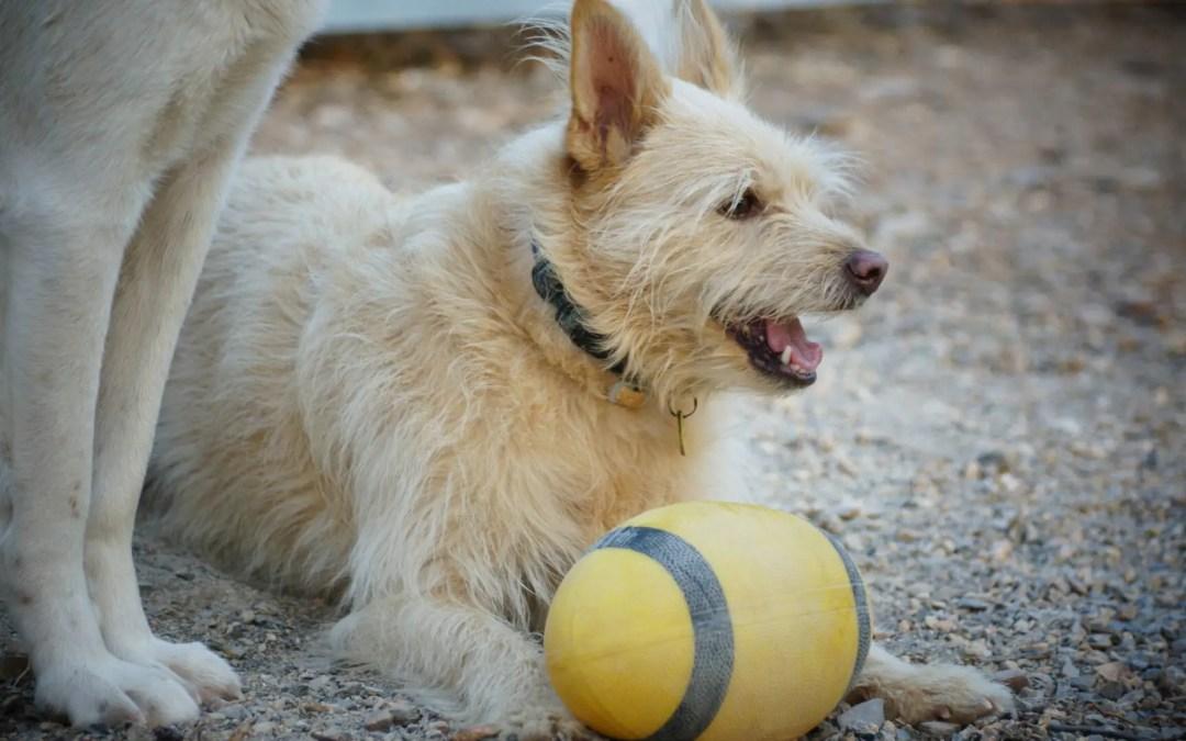 Zweithund: Zwei Hunde gleich doppelte Freude?