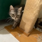 桃園市議員謝美英貓咪救援送養5