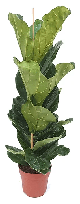 Fiddle Leaf Fig from  London Houseplants