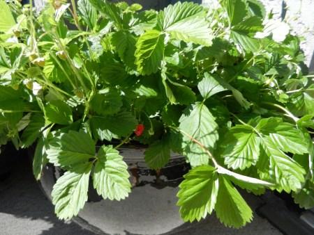 mignonette plant