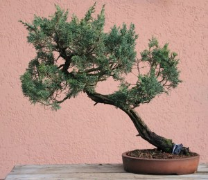 juniper before