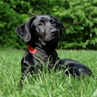 black dog laying in the grass