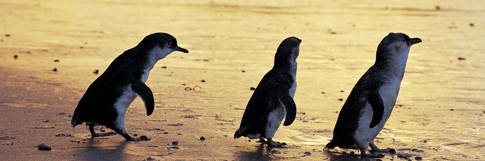 企鵝島 (Phillip Island)一天遊詳細行程介紹 - Melbourne Tiny Tours