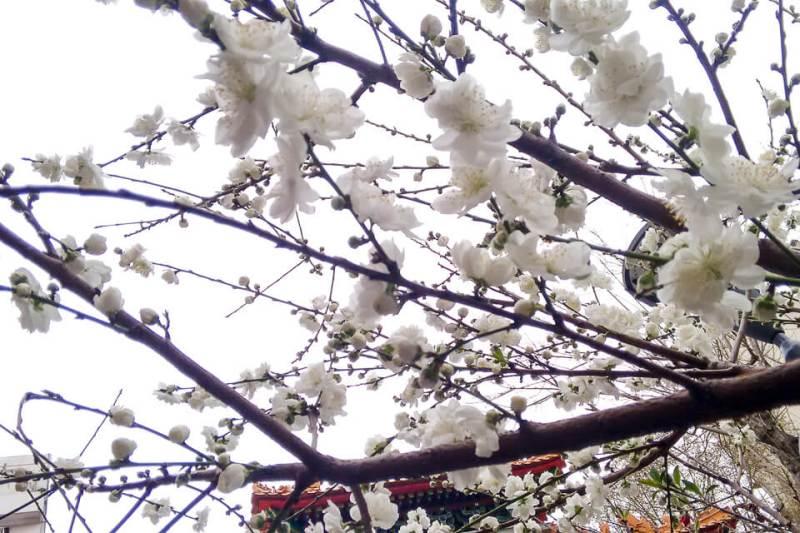 Florada das cerejeiras no bairro chines de Buenos Aires