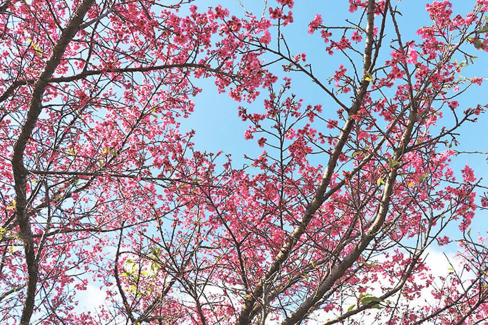 Onde ver Sakura em São Paulo? São Roque