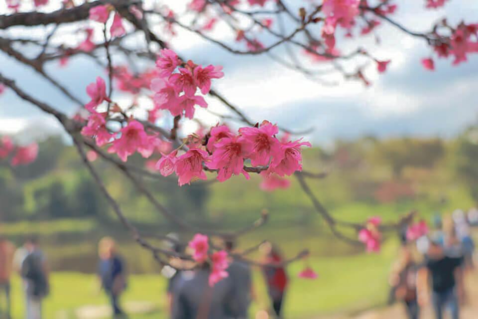 Festival da flor de cerejeira em São Roque