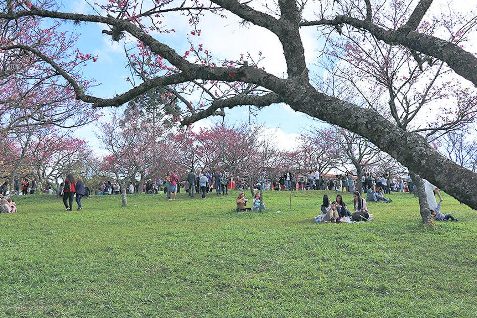 Parque do Festival de cerejeira em São Roque