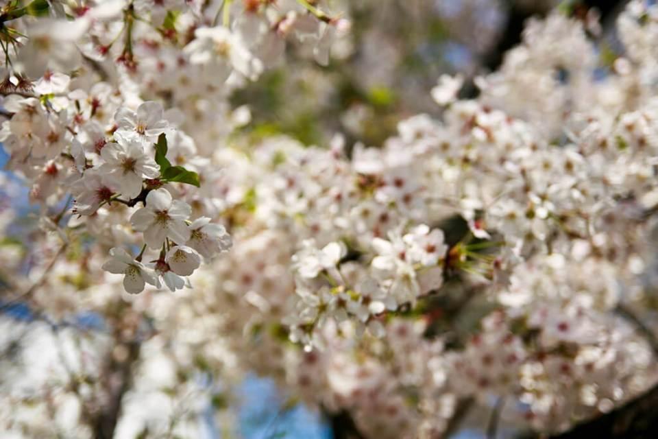 Festival da flor de cerejeira, Sakura Matsuri