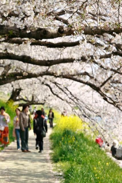 O que ver e fazer no Japão festa da cerejeira
