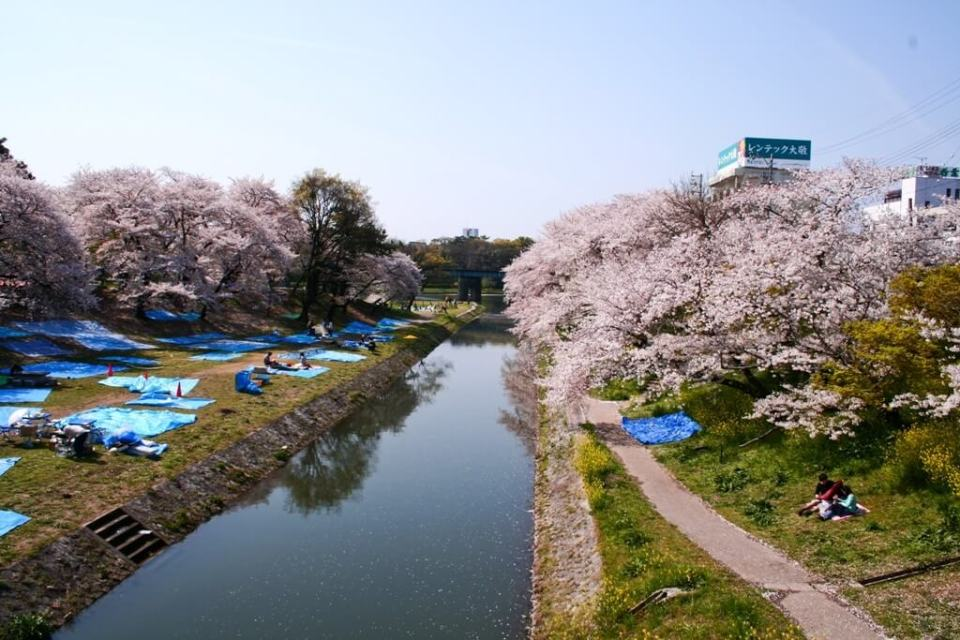 Festival da flor de cerejeira no Japão, Sakura Matsuri