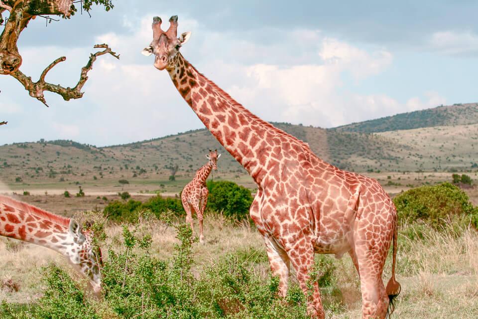 melhor época para viajar ao Quênia - kenya