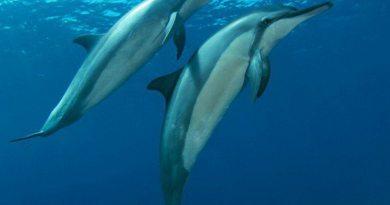 Fernando de Noronha possui a maior concentração de golfinhos oceânicos do planeta