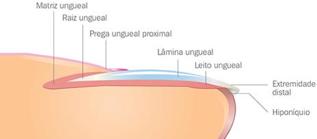 Anatomia da unha fungo na unhae micose melhorsaude.org