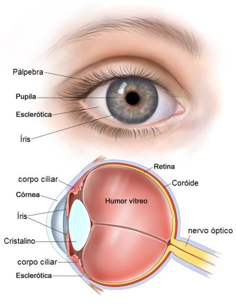 Olhos anatomia do olho humano melhorsaude.org melhor blog de saude