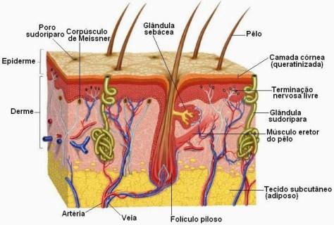 Anatomia da pele e cabelo