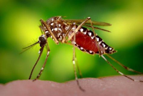 Mosquito Aedes aegypti melhorsaude.org melhor blog de suade