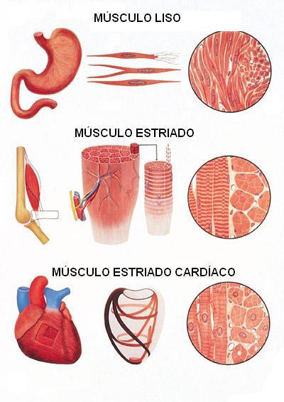 Tipos de musculos melhorsaude.org melhor blog de saude