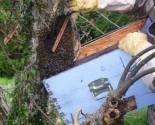 Σμηνουργία μελισσιού Αφαισμός | Μάζεμα του μελισσιού στην κυψέλη