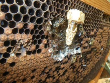 Το βασιλικό κελί το στερεώνουμε σε μία κηρήθρα του μελισσιού. Σε δύο ημέρες η νέα βασίλισσα θα βγει ακμαίο έντομο από το κελί και σε δύο εβδομάδες μετά θα αρχίσει να ωοτοκεί.