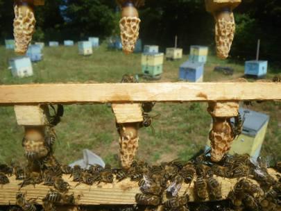 Κάθε μελίσσι έχει μια βασίλισσα και από την καλή της κατάσταση εξαρτάτε η βιωσιμότητα και η παραγωγικότητα ενός μελισσιού. Καλό είναι να αλλάζουμε τις βασίλισσες κάθε δύο χρόνια και είναι κάτι που μπορούμε να το πετύχουμε με βασιλοτροφία.