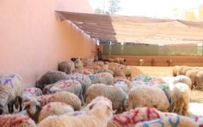 borregos de Marruecos