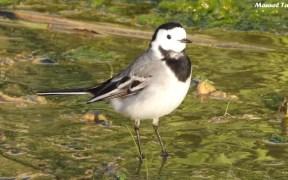Lavandera blanca: Un ave cosmopolita