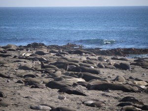 elephant seals san simeon 026