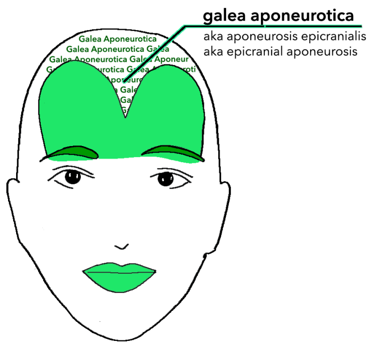 bifurcated frontalis - galea aponeurotica