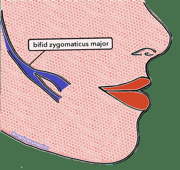 bifid zygomaticus major