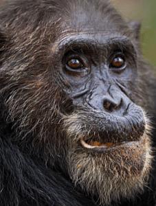 eastern chimpanzee - P. troglodytes schweinfurthii
